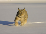 Eurasian Lynx (Lynx Lynx) Walking in the Snow
