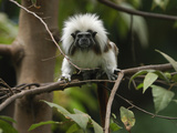 Cottontop or Pinche Tamarin (Saguinus Oedipus)  Northern Colombia