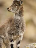 Walia Ibex Head (Capra Walie)  Simien Mountains National Park  Ethiopia