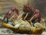 The Introduced and Invasive Red Swamp Crayfish (Procambarus Clarckii) Can Kill Other Crayfishes