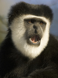 Black and White Colobus Monkey (Colobus Guereza) Eating with its Mouth Open  Masai Mara  Kenya