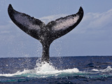 The Tail of Humpback Whale (Megaptera Novaeangliae) That Is Displaying  or Tail Lobbing