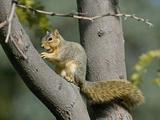 Fox Squirrel (Sciurus Niger) Eating a Nut  Montana  USA