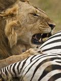 African Lion (Panthera Leo) with a Fresh Zebra Kill in the Masai Mara  Kenya