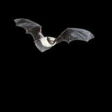 California Myotis Bat (Myotis Californicus) Flying at Night  Southwestern USA