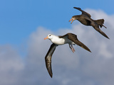Giant Southern Petrel (Macronectes Giganteus) Harrassing a Black-Browed Albatross