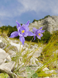 Columbine (Aquilegia Bertoloni)  Endemic to the Apuane Alps Area of the Apennines  Italy