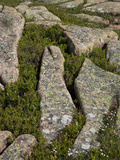 Weathering of Granite Enhanced by Plants Growing in Fissures  Acadia National Park  Maine  USA