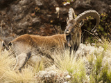 Walia Ibex Male (Capra Walie)  Simien Mountains National Park  Ethiopia
