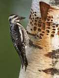 Female Yellow-Bellied Sapsucker (Sphyrapicus Varius) Gathering Bugs at Sap Wells