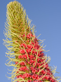 Tower of Jewels Flowers (Echium Wildpretii)  Endemic to Tenerife  Canary Islands