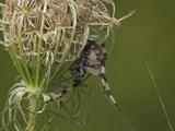 Shamrock Orbweaver Spider (Araneus Trifolium)