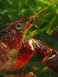 Red Swamp Crayfish Head (Procambarus Clarckii)