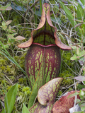 Pitcher Plant (Sarracenia Purpurea)