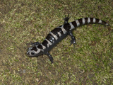 Marbled Salamander  Ambystoma Opacum  Eastern North America