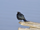 Male Brewer's Blackbird (Euphagus Cyanocephalus) Courtship Behavior  Oregon  USA