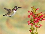 Calliope Hummingbird (Stellula Calliope) Male Flying at Texas Betony (Stachys Coccinea)
