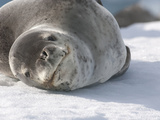 Leopard Seal Resting on Ice (Hydrurga Leptonyx)