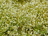 White Meadowfoam (Limnanthes Alba)