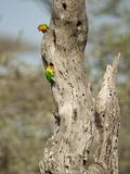 Fischer's Lovebird (Agapornis Fischeri)  Seregenti National Park  Tanzania
