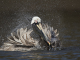 Brown Pelican (Pelecanus Occidentalis) Bathing  Tampa Bay  Florida  USA