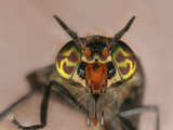 Deer Fly Face Showing the Colorful Compound Eyes of This Biting Pest