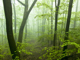 Deciduous Forest in Fog  Pennsylvania  USA