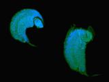 Confocal Micrograph of the Parasitic Wasp Larvae of Leptopilina Boulardi