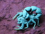 Scorpion under Uv Light (Orthochirus Bicolor)  Socotra (Compare with 3034377 under Normal Light)