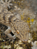 Wall Gecko (Tarentola Gomerensis)  Endemic to La Gomera  Canary Islands
