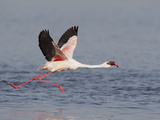 Lesser Flamingo (Phoenicopterus Minor) Adult Taking Flight  Kenya  Africa