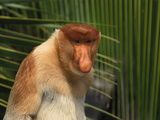 Male Proboscis Monkey Face (Nasalis Larvatus)  Sabah  Borneo  Malaysia