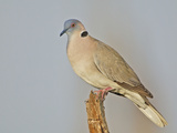 African Morning Dove  Streptopelia Decipiens  Africa