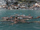 A Herd of Steller Sea Lions (Eumetopias Jubatus) at a Rookery Area  Prince William Sound  Alaska