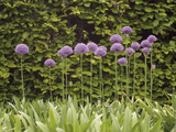Purple Sensation Onion (Allium Hollandicum)