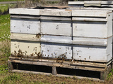 Commercial Bees and Bee Hives Placed in a Cherry Orchard in the Spring  Southwest Oregon  USA