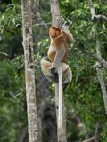 Male Proboscis Monkey (Nasalis Larvatus)  Sabah  Borneo  Malaysia
