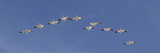 Snow Geese Flock Flying in a V Formation  Bosque Del Apache National Wildlife Refuge  New Mexico