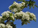 One-Seed Hawthorn (Crataegus Monogyna)  an Invasive Plant in North America