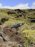 Male Tenerife Lizard (Gallotia Galloti) Basking  Endemic  Tenerife  Canary Islands