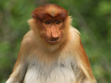 Female Proboscis Monkey Face (Nasalis Larvatus)  Sabah  Borneo  Malaysia