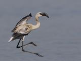 Lesser Flamingo (Phoenicopterus Minor) Juvenile Landing  Kenya  Africa