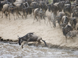 Wildebeests or Gnus Jumping into the Mara River to Cross During Migration