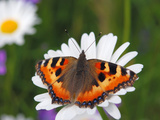 Small Tortoiseshell (Aglais Urticae) Perched on Flower  Estonia  Europe