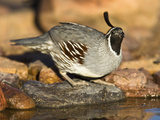 Gambel&#39;s Quail Drinking at a Desert Waterhole (Callipepla Gambelii)  Southwestern USA