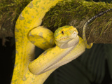 Green Tree Python (Morelia Viridis)  New Guinea  Captivity