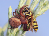 Crab Spider Eating a Yellow Jacket
