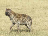 Spotted Hyena (Crocuta Crocuta) Masai Mara Game Reserve
