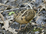 American Woodcock (Scolopax Minor)