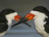 Black Skimmers (Rynchops Niger)  Fort De Soto Park  Mullet Key  Florida  USA